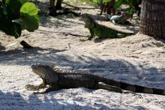 Iguanas sitting on the warm tropical beach sand Royalty Free Stock Images