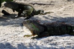 Iguanas sitting on the warm tropical beach sand Stock Photo