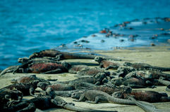 Iguanas sunbathing in floreana island galpagos. Ecuador royalty free stock photography