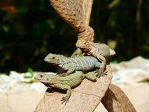 Iguanas, Tree, Animal, Exotic Stock Images