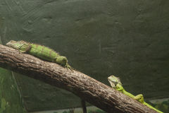 Iguanas Royalty Free Stock Image