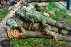 Iguanas in love Stock Photo