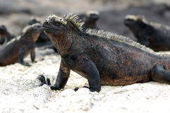 Iguanas up close on a beach. Closeup of marine iguana with other iguanas in the background, Fernandina Island, Galapagos Stock Photography