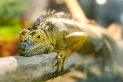 Iguanas who sleeps on a thick branch Stock Image