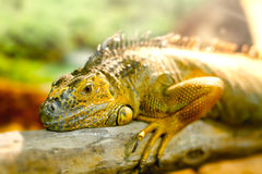 Iguanas who sleeps on a thick branch Stock Images
