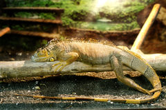 Iguanas who sleeps on a thick branch Royalty Free Stock Photo