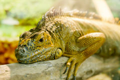 Iguanas who sleeps on a thick branch Stock Photos