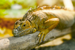Iguanas who sleeps on a thick branch Royalty Free Stock Images