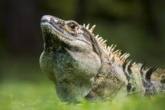 Iguane épineux-coupé la queue par noir de Costa Rica Photo stock
