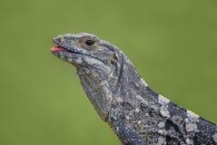 Iguane Épineux-coupé la queue par noir - similis de Ctenosaura images stock