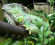 Iguane Image libre de droits