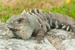 Iguane. Photos stock