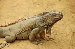 Iguane Photos libres de droits