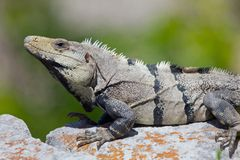 Iguane images stock