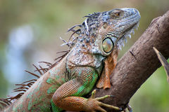 Iguane Images libres de droits