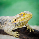 Iguane Photo stock