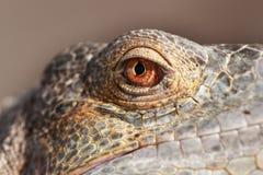 Iguane Photo libre de droits