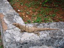 Iguane photographie stock