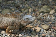 Iguane au Honduras Photos libres de droits
