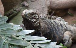 Iguane au sol cubain photographie stock libre de droits