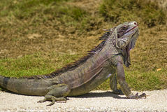 Iguane au soleil Image stock
