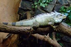 Iguane au zoo - Brésil Image stock