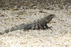 Iguane Belize Photographie stock libre de droits