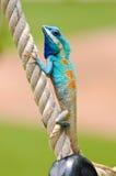 Iguane bleu image stock