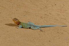 Iguane bleu images libres de droits