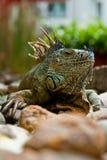 Iguane calme Photos stock