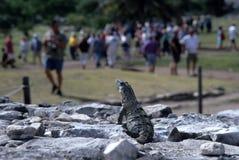 Iguane, comptant des visiteurs Image libre de droits