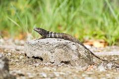 iguane coupé la queue épineux sur la roche Photos libres de droits
