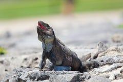 Iguane criant photo libre de droits