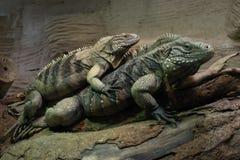 Iguane cubain de roche image stock