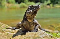 Iguane cubain de roche (nubila de Cyclura) photo libre de droits
