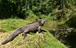 Iguane cubain de roche (nubila de Cyclura) images stock