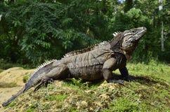 Iguane cubain de roche (nubila de Cyclura) photos stock