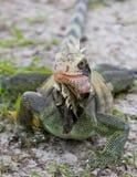 Iguane curieux Photographie stock libre de droits