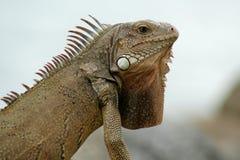 Iguane d'Aruba Photo libre de droits