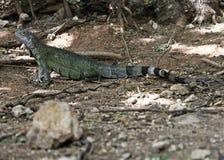 Iguane d'Aruba posant le fond Photographie stock libre de droits