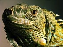 Iguane d'iguane Image libre de droits