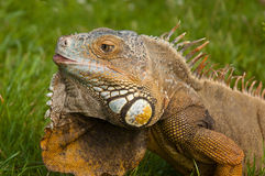 Iguane d'iguane Photographie stock