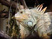 Iguane d'iguane. Photos stock