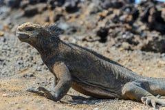 Iguane dans Galapagos Photos libres de droits
