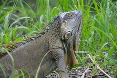 Iguane dans l'herbe grande Images libres de droits