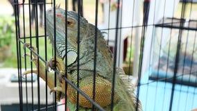 Iguane dans la cage Photo libre de droits
