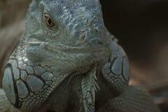 Iguane dans la jungle de Lacandonl Image libre de droits