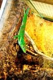 Iguane dans la mini-serre Images stock
