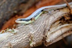 Iguane dans le jardin faune animale, petit animal pour le fond et modèle Photographie stock libre de droits