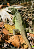 Iguane dans le sauvage Images libres de droits